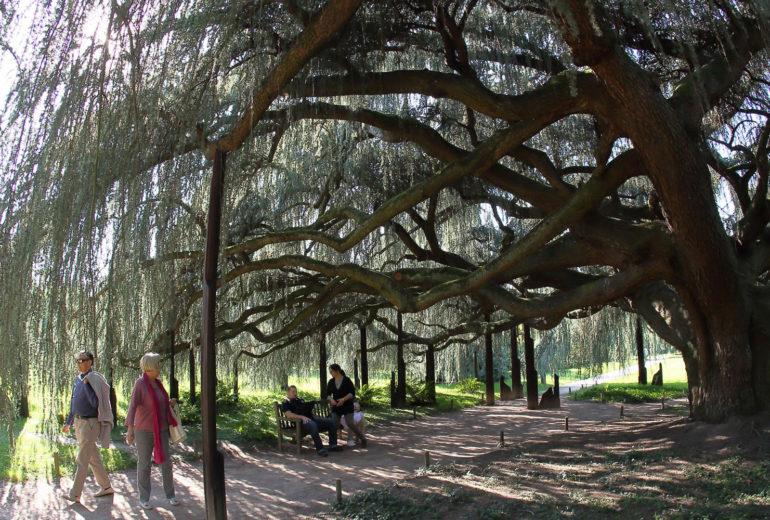 Le cèdre du Liban de l'Arboretum