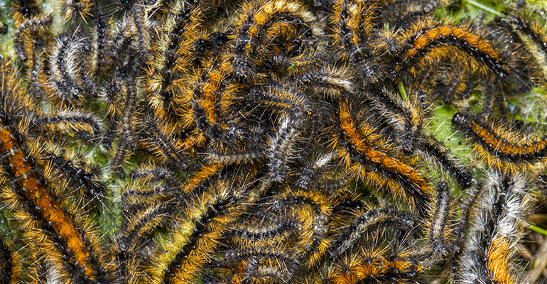 View of a swarm of Pine Processionary Moth caterpillar (Thaumetopoea pityocampa).